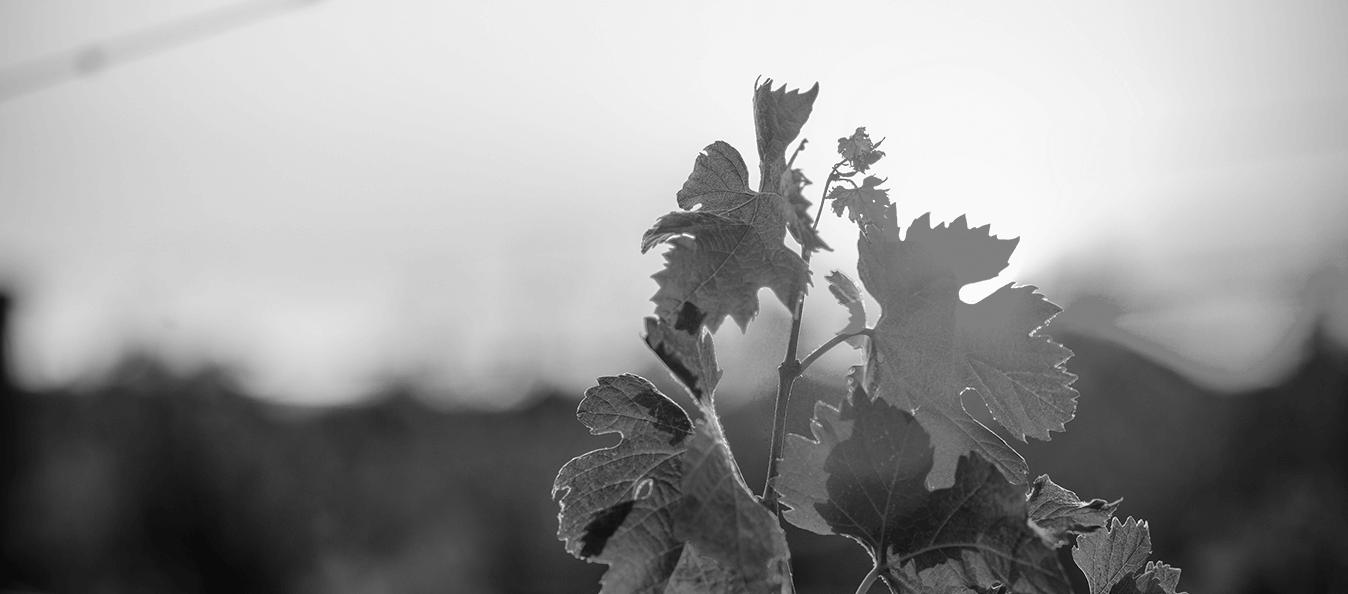 Photo noir et blanc de vigne